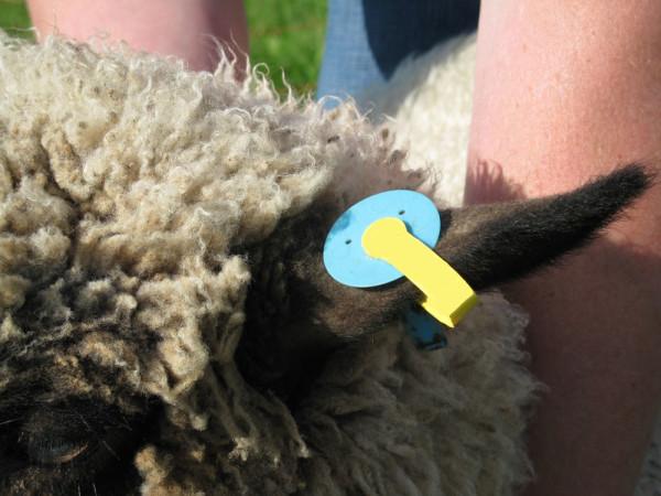 Schaf mit Ohrmarke
