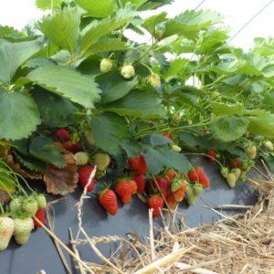 Erdbeeranbau im Folientunnel