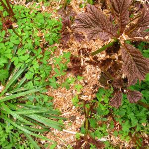 Mulch auf Muscanthus oder Rindenhumus ist insbesondere für Neupflanzungen verträglicher als Rindenmulch