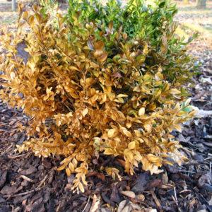 Mulch aus Muscanthus oder Rindenhumus ist insbesondere für Neupflanzungen verträglicher als Rindenmulch
