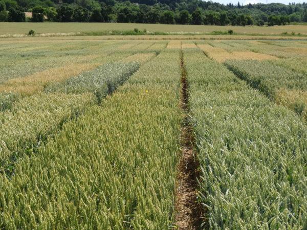 Versuchsfeld mit verschiedenen Weizensorten