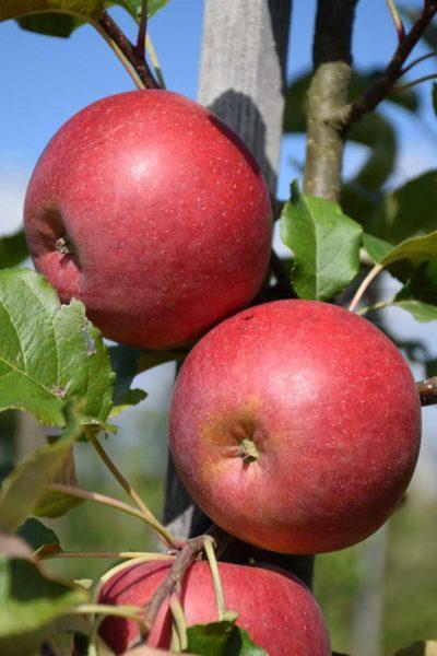 Natyra – ein schorfresistenter Bioapfel mit sehr guter Fruchtqualität