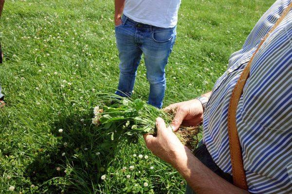 Ein Anteil Weißklee ist auf Schnitt- und Weideflächen erwünscht