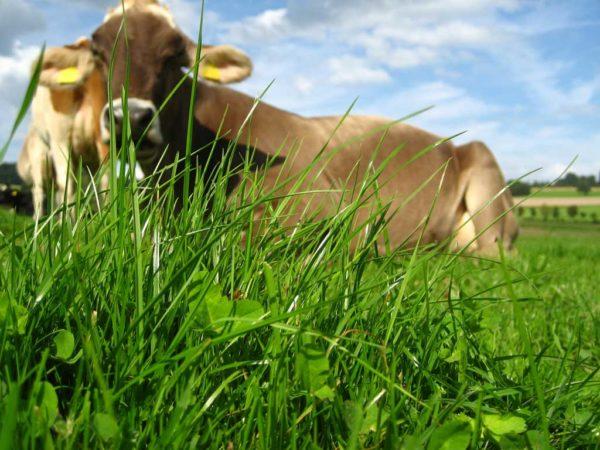 Milch aus Gras ist auf Grünlandstandorten ein interessantes wirtschaftliches Konzept