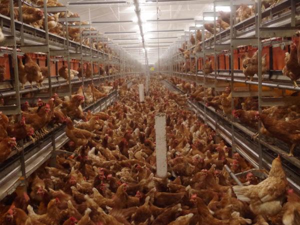 Abb. 4: Die Anlage läuft und die Tiere drängen sich um die Beschäftigungsanlage.