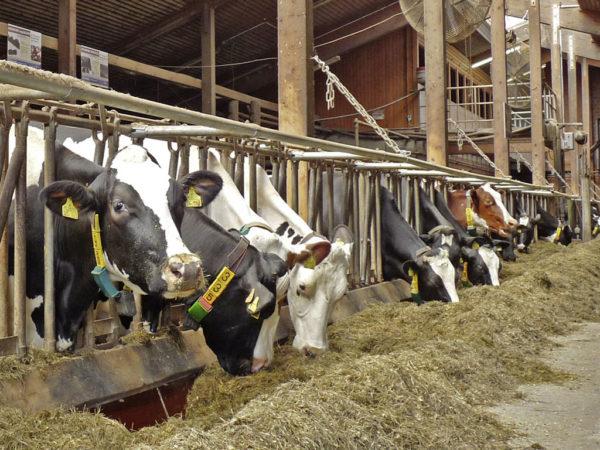 Milchviehherde bei der Fütterung im Stall