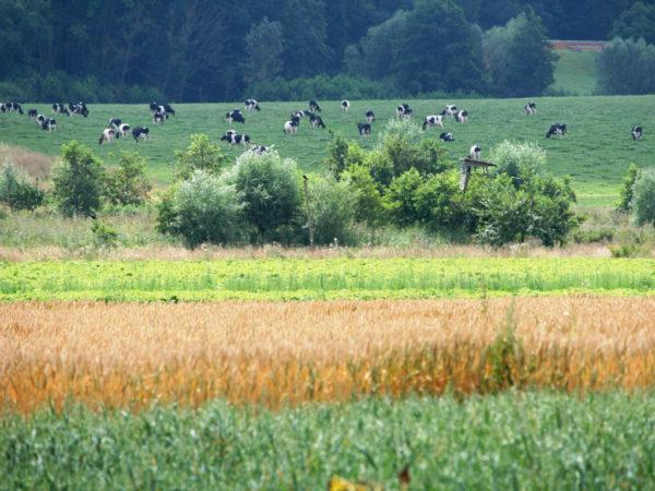 Zukunftsfähige Landwirtschaft mit vielen Ressourcen: Schwarzbuntes Niederungsrind, eine vielfältige Fruchtfolge und Landschaftsstrukturen als Lebensraum für wildlebende Arten