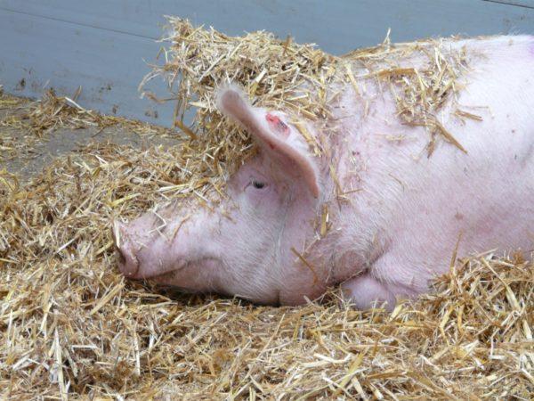 Schwein im Stroh