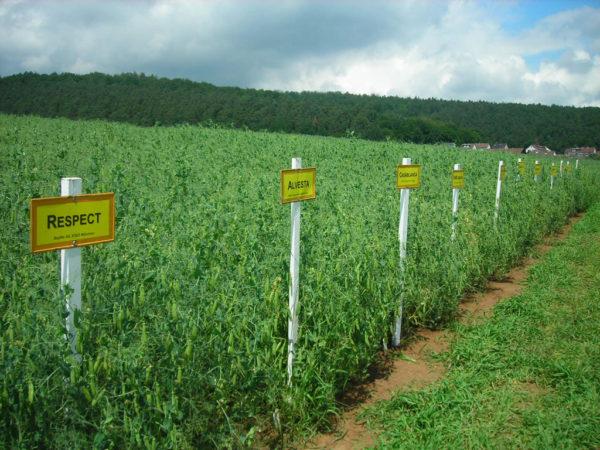 In den Landessortenversuchen wird die Leistungsfähigkeit und Ertragssicherheit der Sorten geprüft