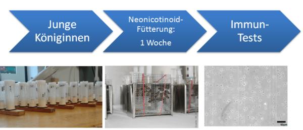 Gafik Neonicotinoid-Fütterung