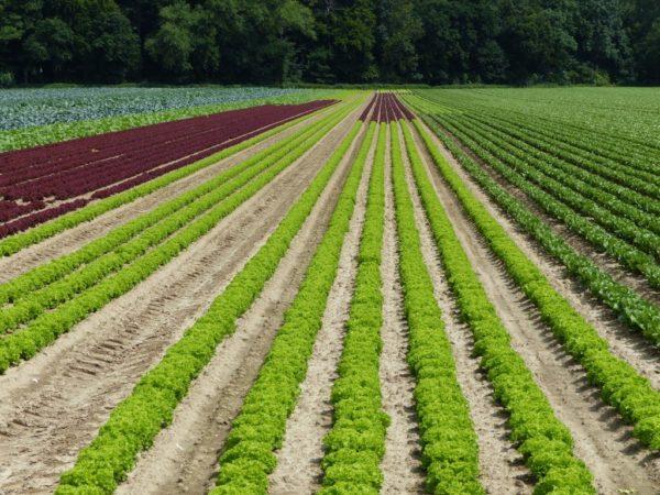 Feld mit Gemüsekulturen