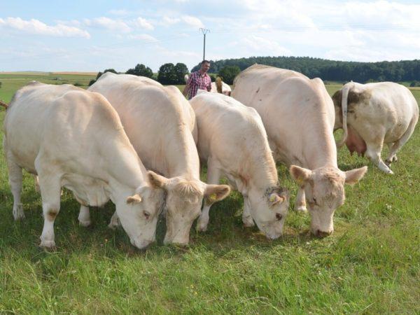 Charolais-Kühe mit Nachzucht