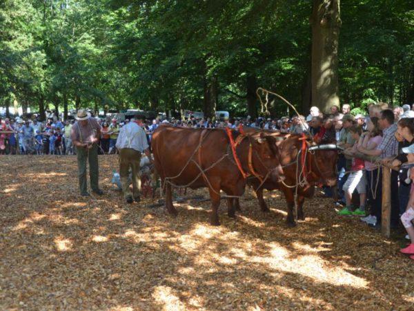 Viel Interesse war bei den Zuschauern gegeben, als Karl-Wilhelm Becker, Lehrbach, sein Kuhgespann in der Anspannung mit Ackergeräten präsentierte.