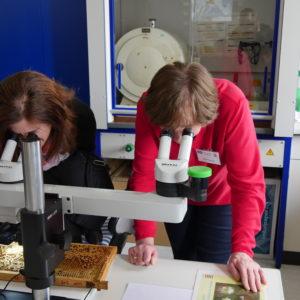 Hilde Strasser erklärt einer Besucherin die Varroa-Milbe