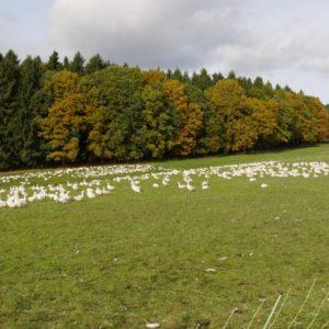 Das Grünland wird u.a. auch für die Haltung von Gänsen genutzt