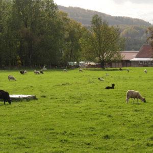 Weidende Schafe auf der hofnahen Fläche