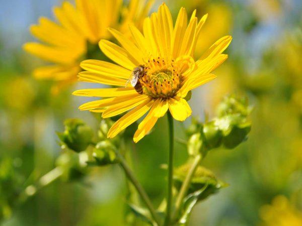 Biene auf einer Blüte der Durchwachsenen Silphie