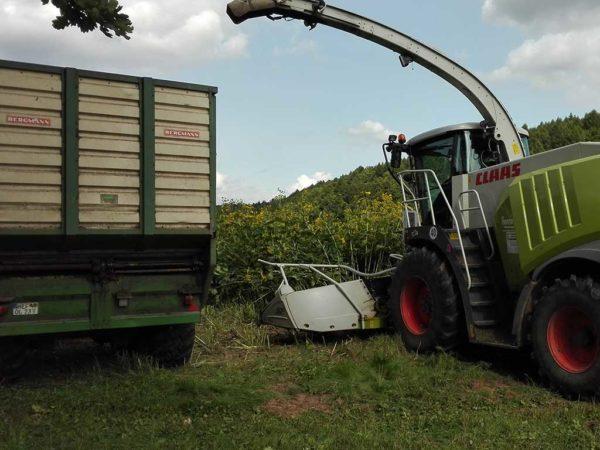 Silphie-Ernte mit einem Feldhäcksler. Berechnungen auf Grundlage der am LWZ Eichhof ermittelten Daten haben ergeben, dass etwa der doppelte Anbauumfang an Durchwachsener Silphie notwendig ist, um den gleichen Energieertrag wie von einem Hektar Mais zu erzielen.