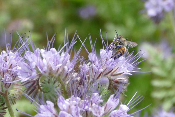 Blühstreifen, ein Nahrungsangebot für Bienen
