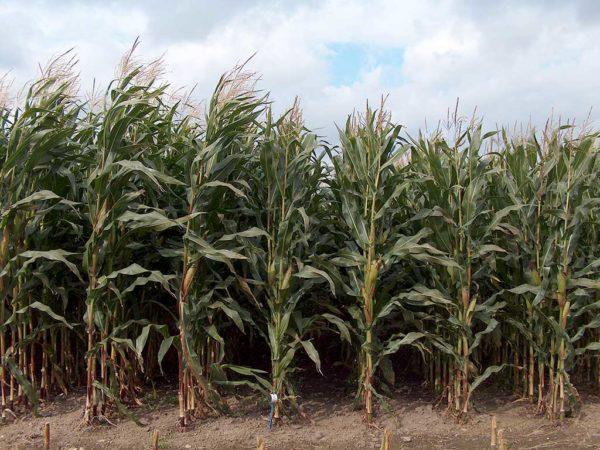 Die diesjährigen Maiserträge fielen meist zufriedenstellend aus.