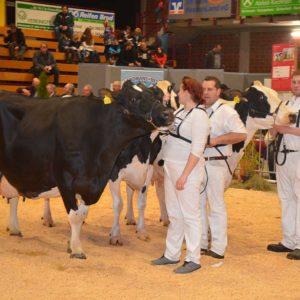 Erstklassige alte Kühe mit bis zu 105 000 kg Milch Lebensleistung wurden in Alsfeld gezeigt