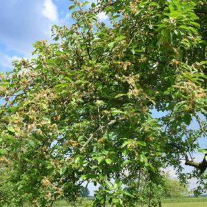 befallener Baum