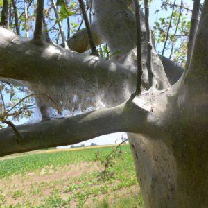 Streuobstbaum im Silberkleid