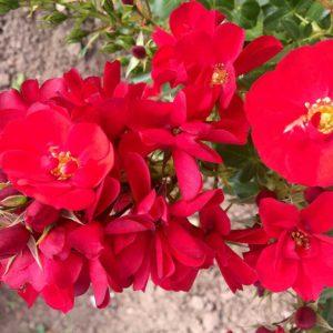 Jede ist eine besondere Ihrer Art. Am 12. Juni wird die rote Rose unter allen besonders geehrt. (Rose: Kesse Lippe)
