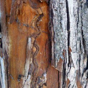 Baumrinde, die vom Birnenprachtkäfer - Blitzwurm befallen ist