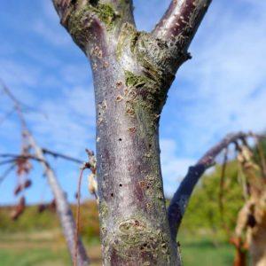Stamm eines Kirschbaumes, der vom Borkenkäfer befallen ist